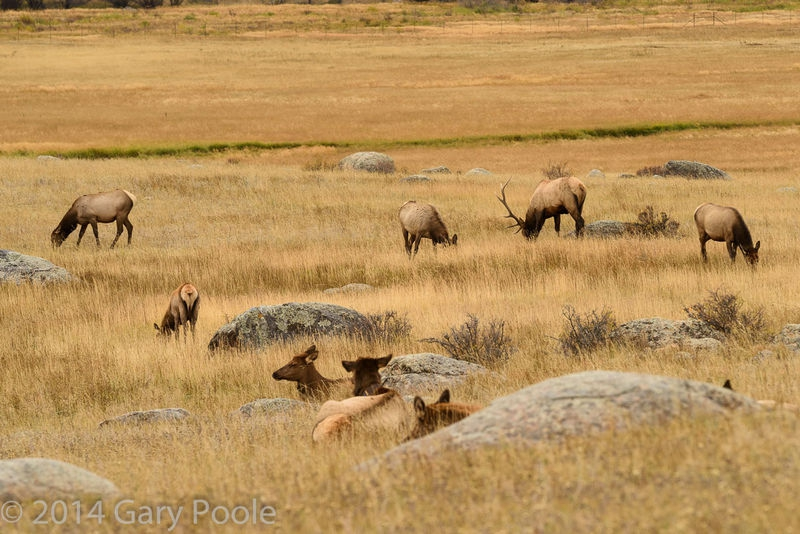 Elk Herd Relaxing