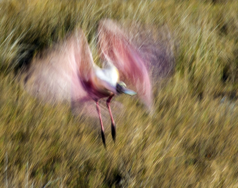 Frenzied Spoonbill: August Contest – Animals in Motion