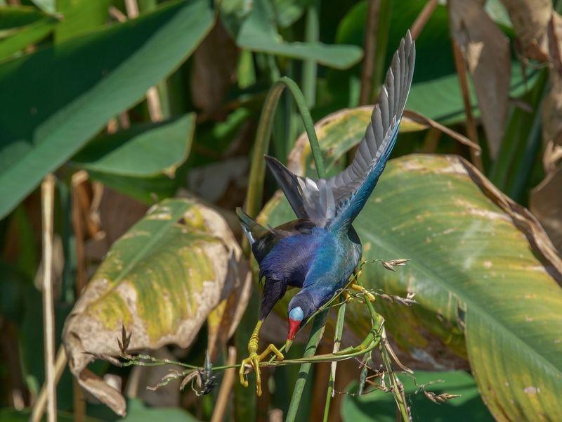Porphyrio martinicus-Purple gallenule