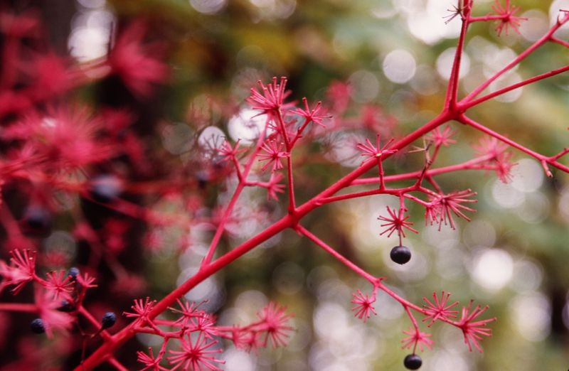 Red Bush with Blue Berries