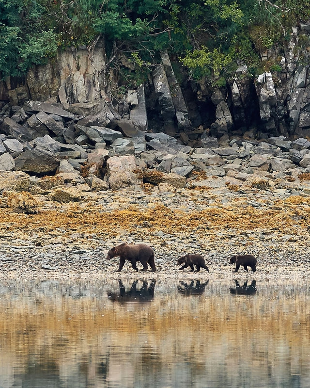 Brown Bear Family; Katmai NP