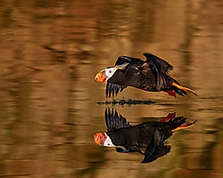 Winner April Wildlife Theme: 'Wildlife Interacting with Water'  Tufted Puffin at Takeoff D500, Sigma 150-600mm f/5-6.3; ISO 400, 1/2500sec @ f/6.3