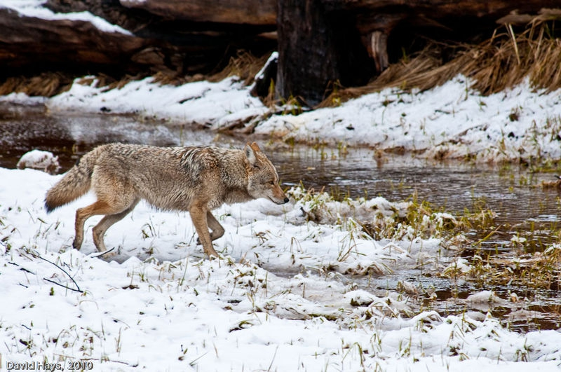 Coyote from Swinging Bridge after light snow