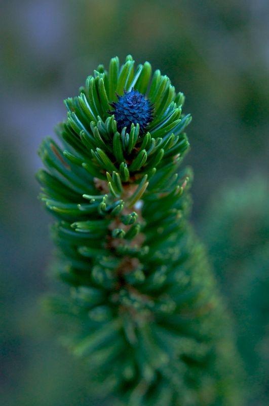 Bristlecone Bud