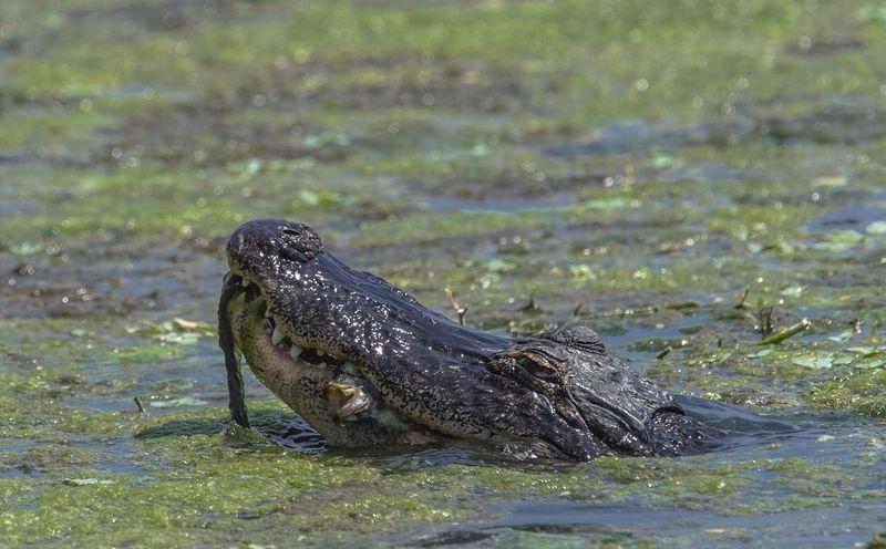 """""""Fisheater""""-Alligator mississippiensis"""