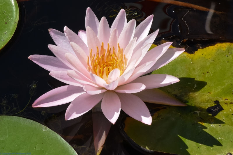 pink_water_lily_1