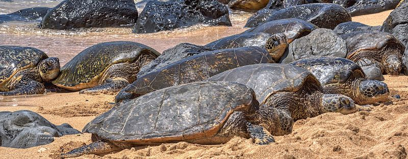 Green Sea Turtles Basking on the Sand
