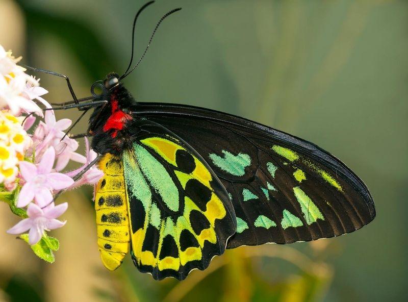 Birdwing Butterfly