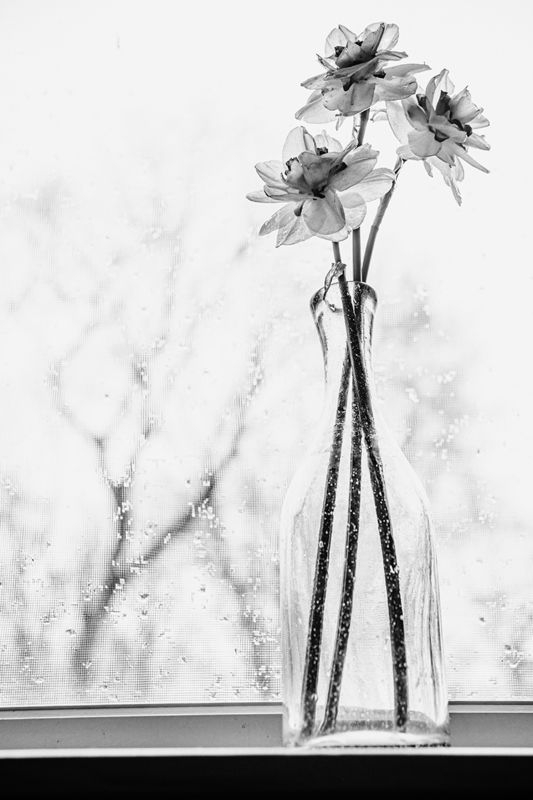 Daffodils in Black and White