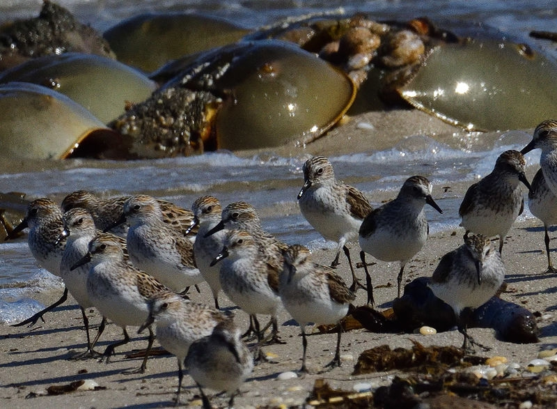 Cape May migratory birds