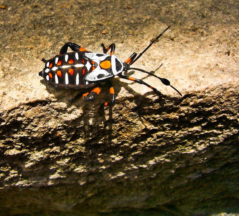 San Miguel Beetle