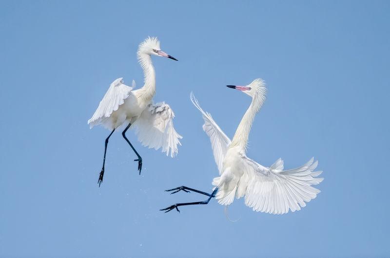 White Morph Reddish Egrets