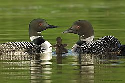 Common Loon (BillMarchel)