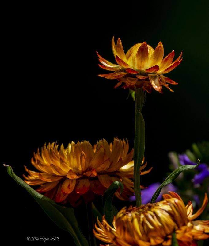 Yellow Flowers / Black Background