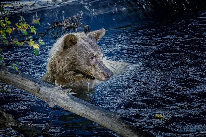 Bear Sow Swimming