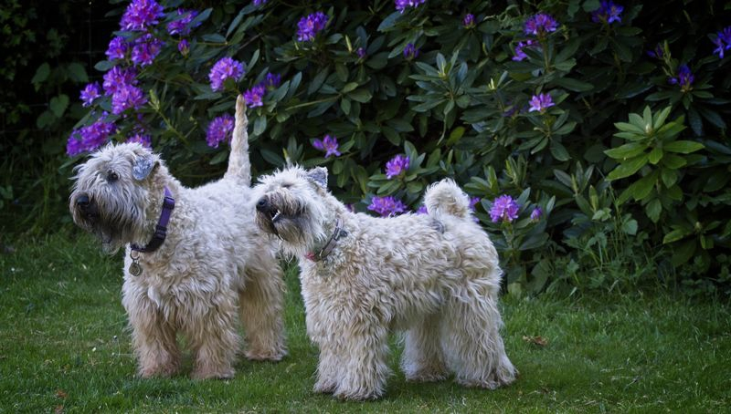 Our two Wheaten Terriers