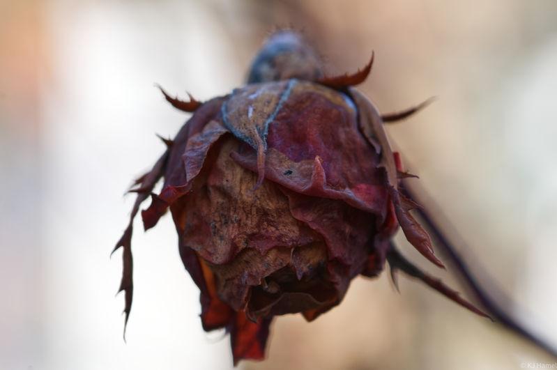 More Winter Roses