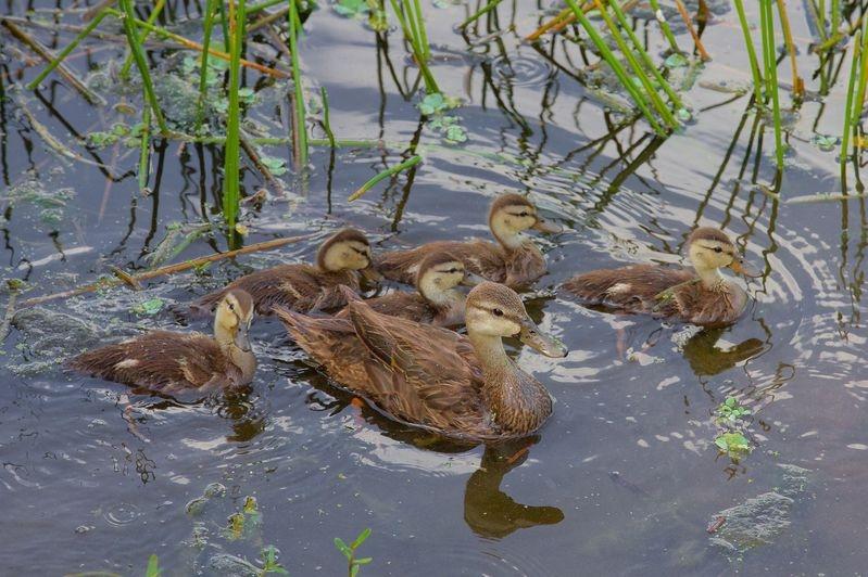 Anas fulvigula-Florida Motlled Ducks