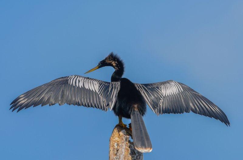 """Wingspread""-A Large Anhinga"