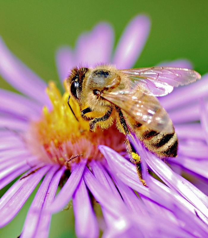 Bee_Closeup