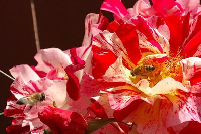 Bees & Roses