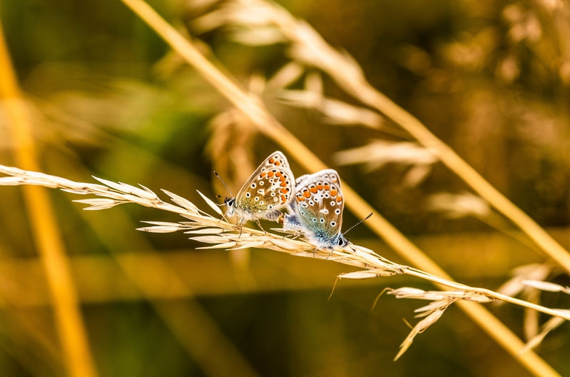 a pair of common blue mating on wild grass
