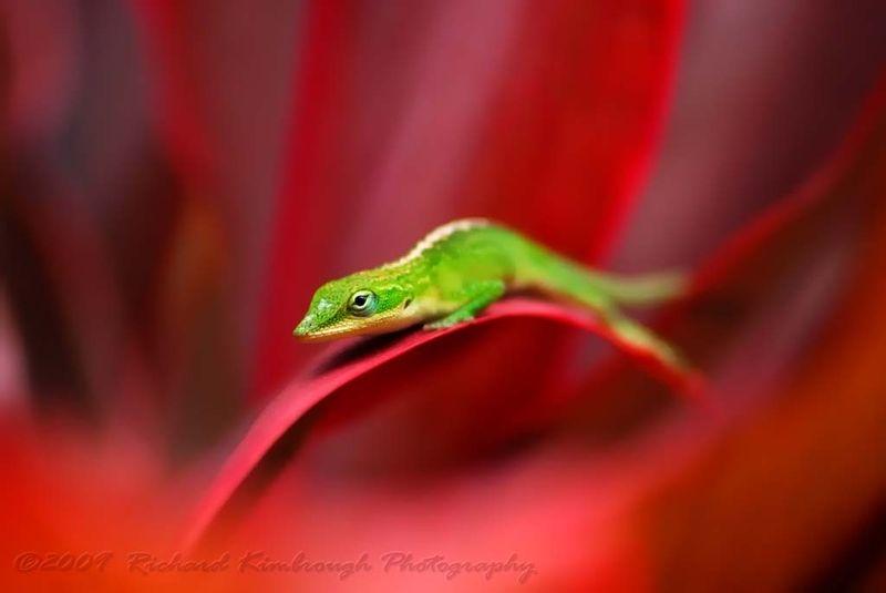 Christmas Lizard?