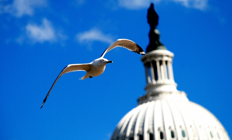 Gull over Capitol