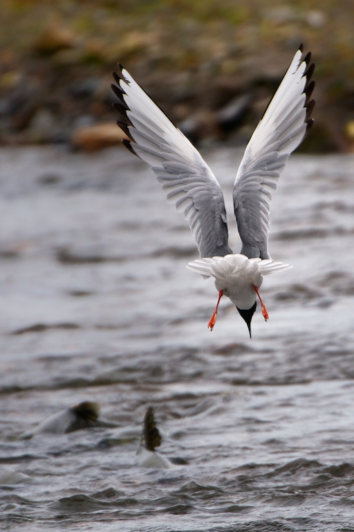Bonapart's Gull Diving for Salmon Eggs