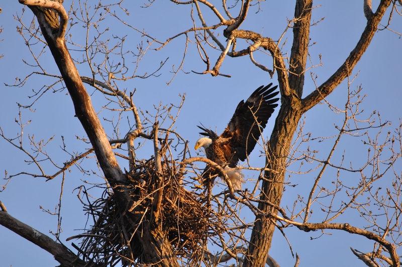 eagle taking nest