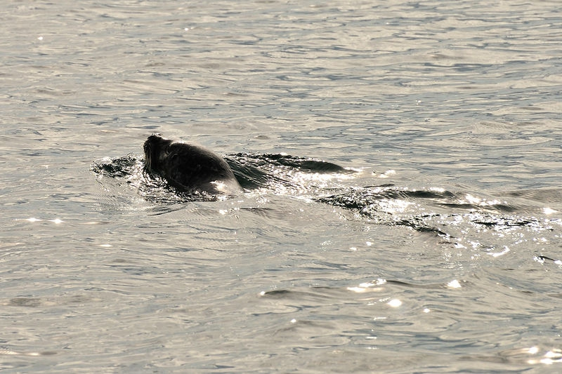 Seal in Pugent sound