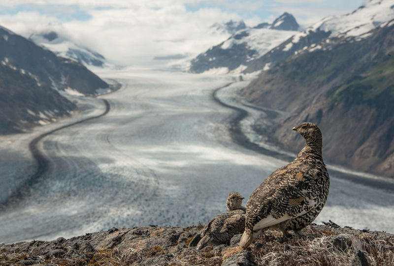 Rock Ptarmigan and Young Overlook the Salmon