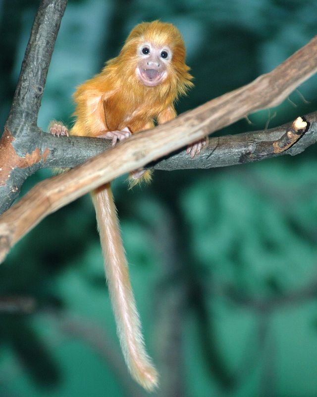 Golden_Lion_Tamarin_1_Done
