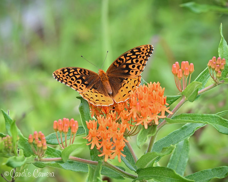 Great Spangled Fritillary Butterfly #2
