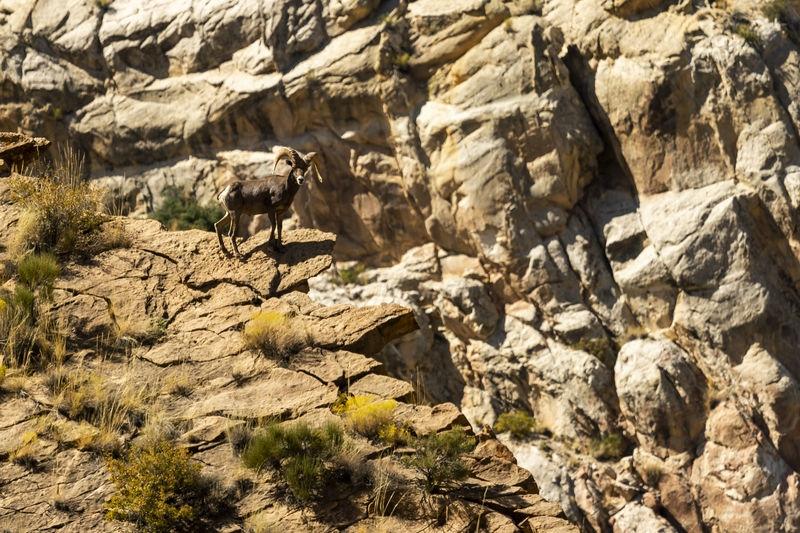 Desert Bighorn Sheep, Ovis canadensis nelsoni