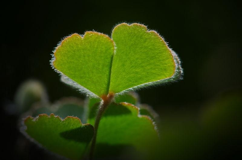 Marsilea Leaves 3