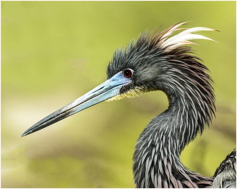 Tri-colored Heron-Portrait