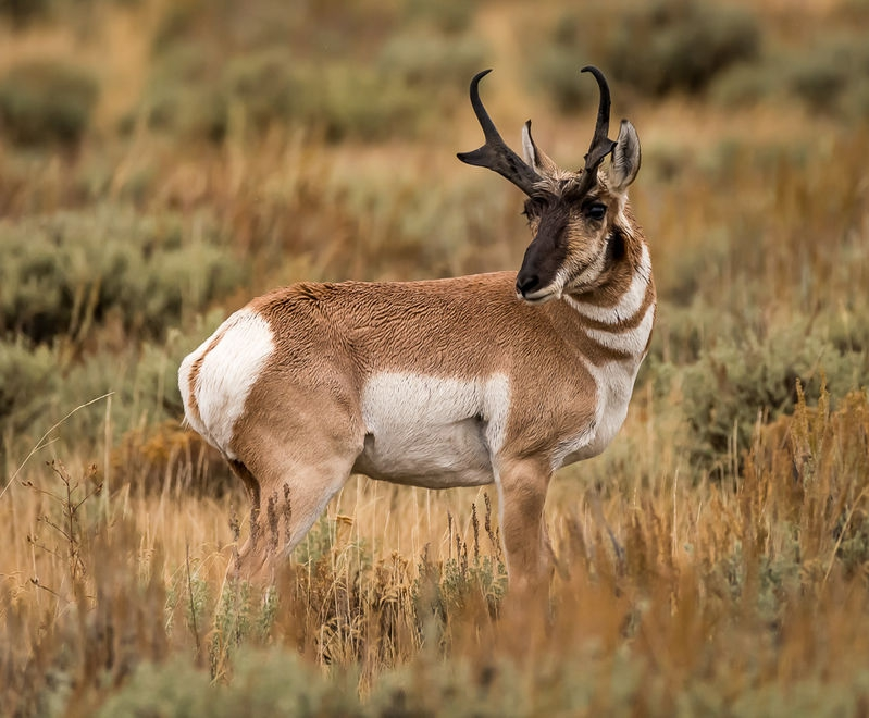 Pronghorn - Grand Teton NP