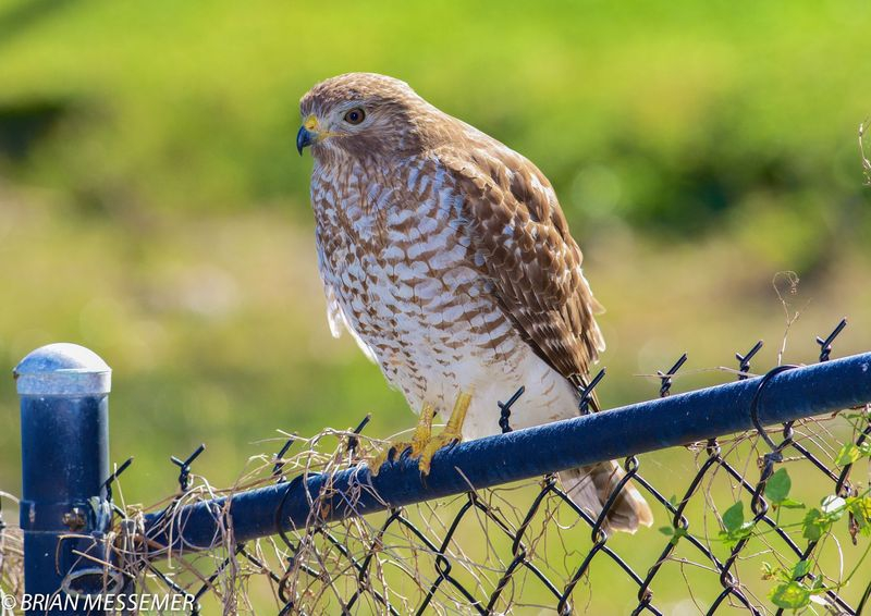 Buteo lineatus,Red Shouldered Hawk