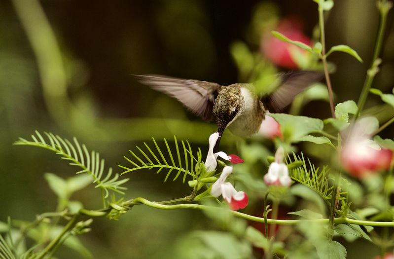 Backyard Hummingbirds