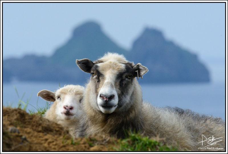 Sheep on Westman Islands