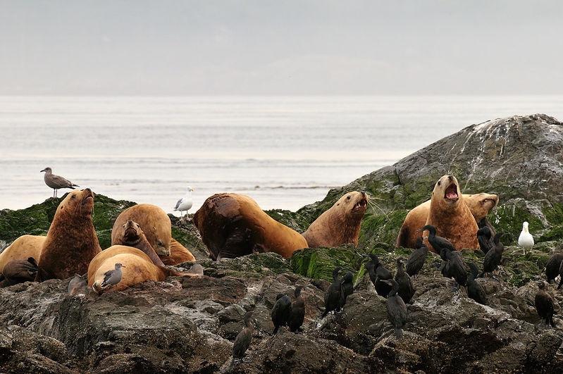 Pride? of Steller Sea Lions