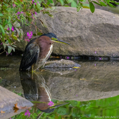 RE: Little Green Herons Hatches