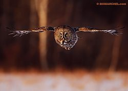 Great Gray Owl (BillMarchel)