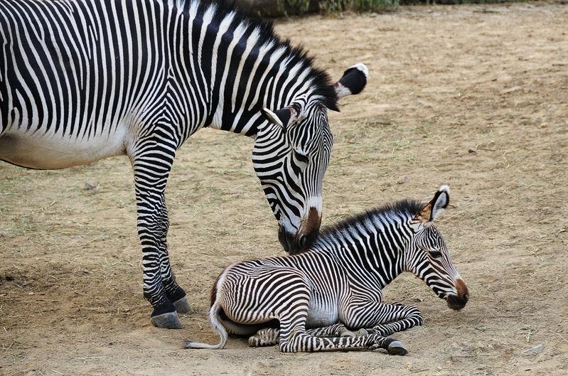 Zebra Foal and Mom