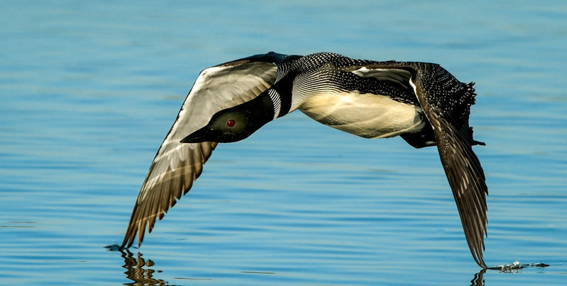 Loon Wing Tips Cutting Water