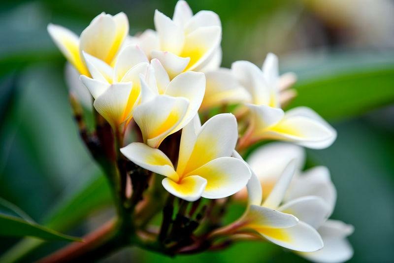Frangipanni Flowers