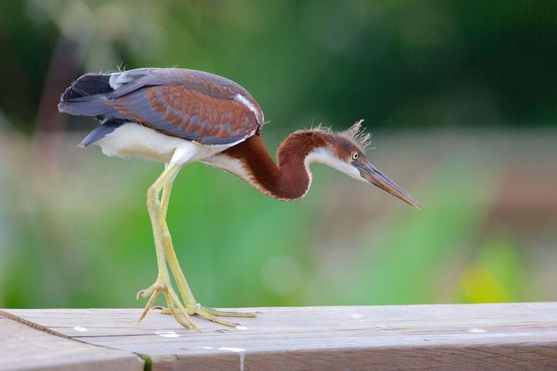 Egretta tricolor-Junior Tricolored Heron