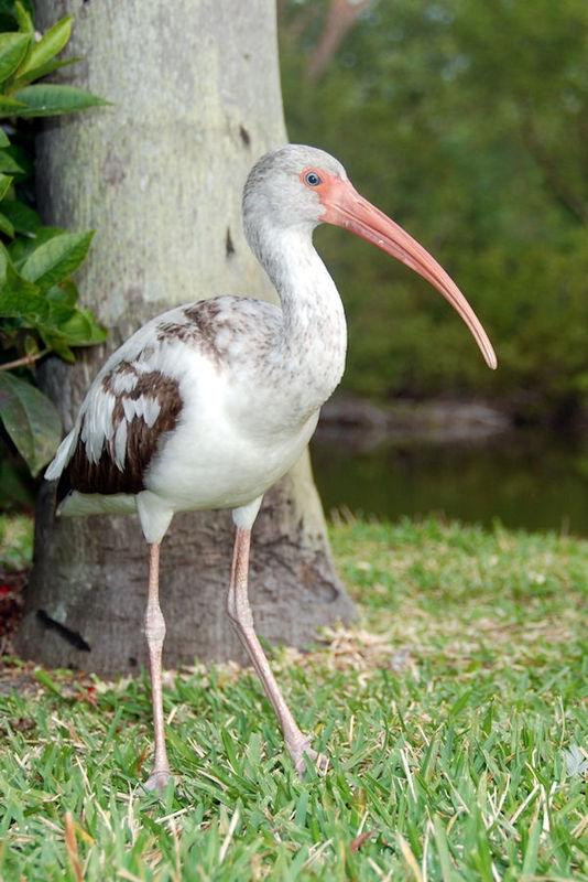 juvenile white ibis 1
