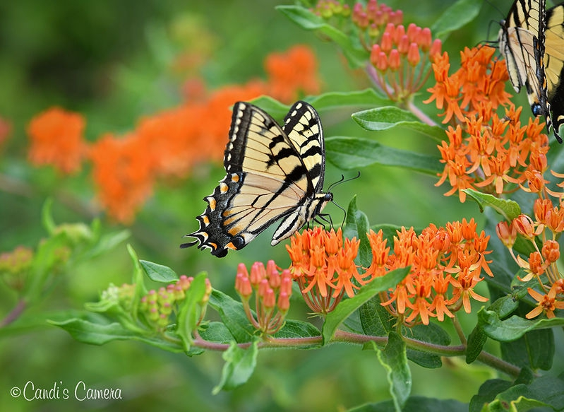 Eastern Tiger Swallowtail Butterfly #2